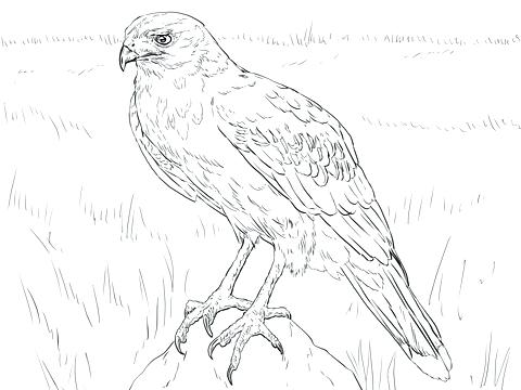 480x360 Red Tailed Hawk Coloring Page Hawk Coloring Page Red Tailed Hawk