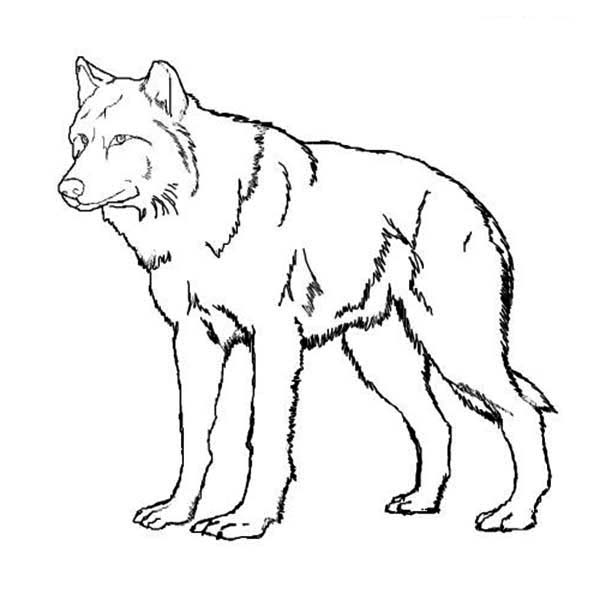 600x600 Amazing Wolf Coloring Page