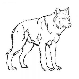 300x300 Wolf Gray On Alert Mammals Coloring Pages For Realistic Free
