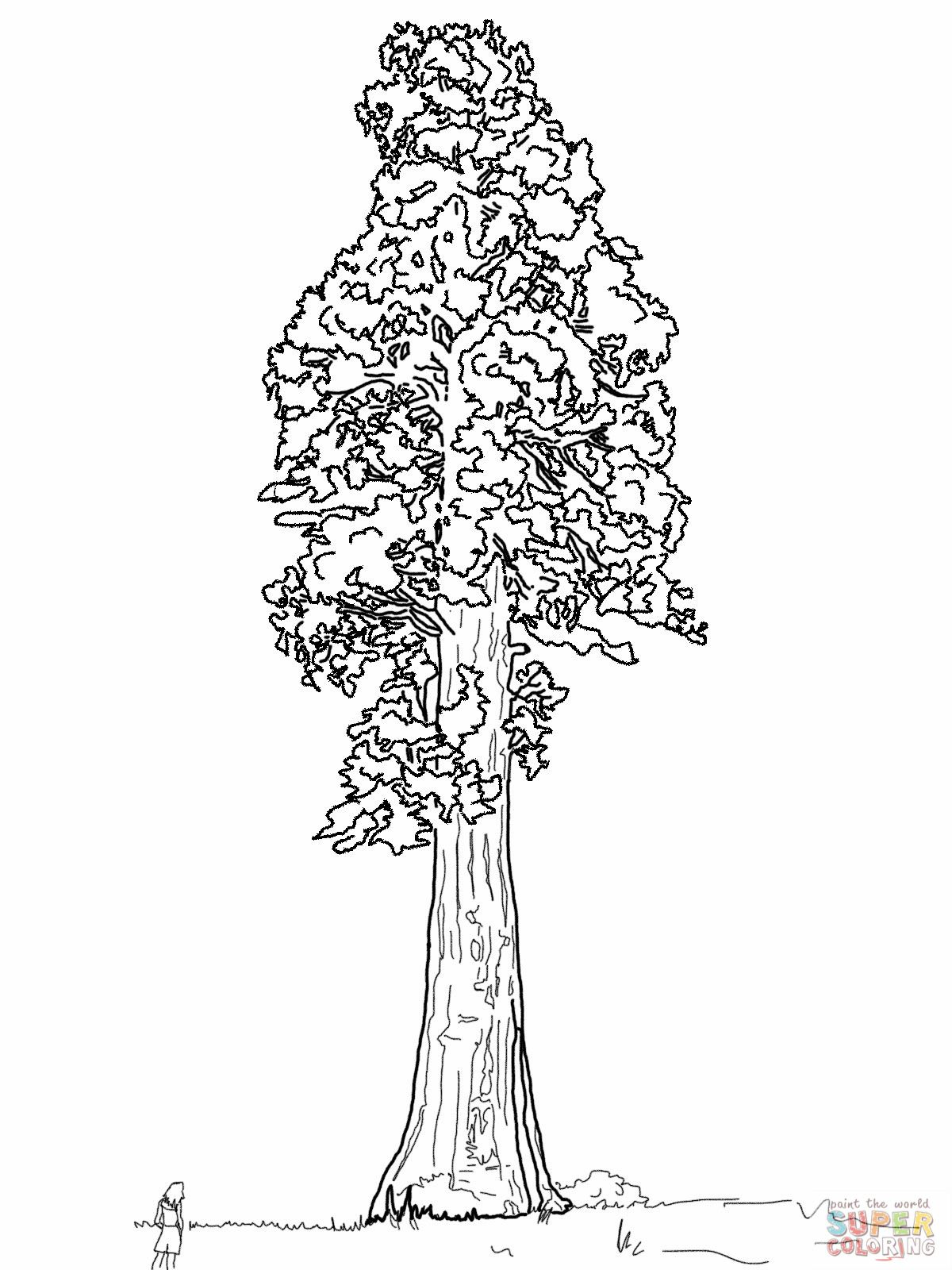 1200x1600 Giant Sequoia Sentinal Tree Coloring Page Tattoos