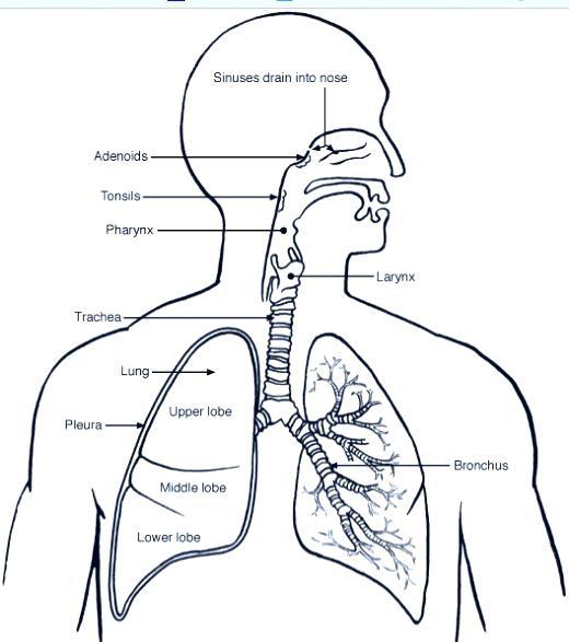 520x587 Incredible Amazing Respiratory System Coloring Sheet Print Human