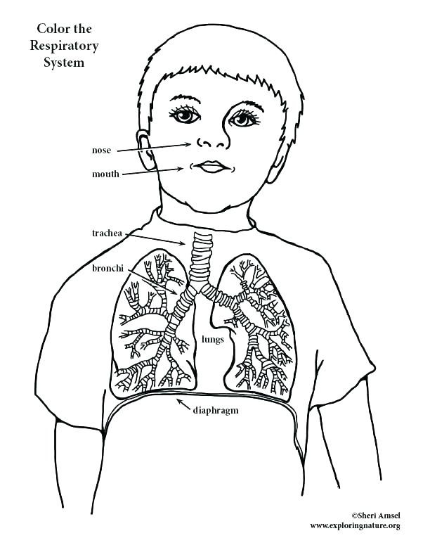 612x792 Respiratory System Coloring Page Digestive System Coloring Pages