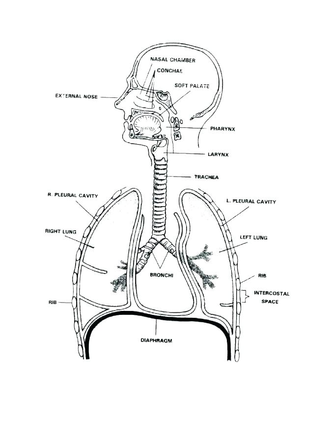 672x870 Body Coloring Pages Respiratory System Coloring Page Human Body