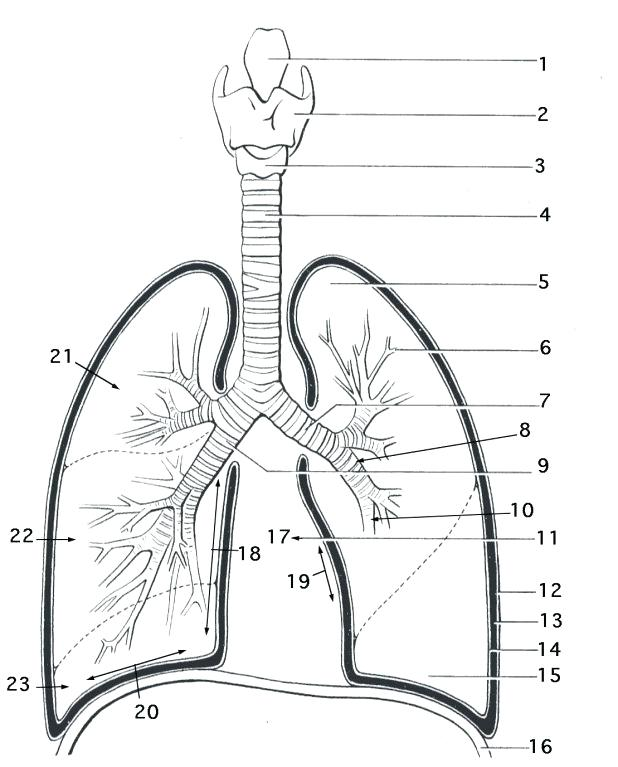 618x767 Respiratory System Coloring Page Lung Anatomy Coloring Page