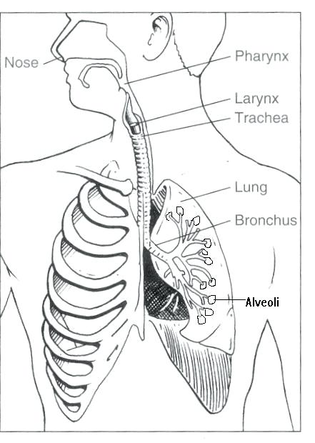 441x620 Respiratory System Coloring Page Respiratory System Coloring Page