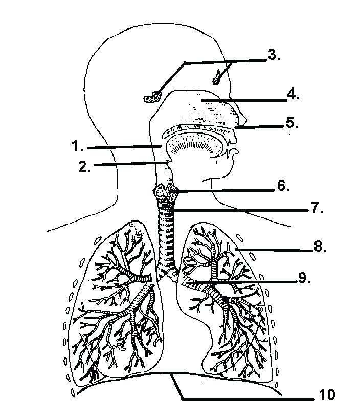 661x821 Respiratory System Coloring Page Respiratory System Coloring Pages