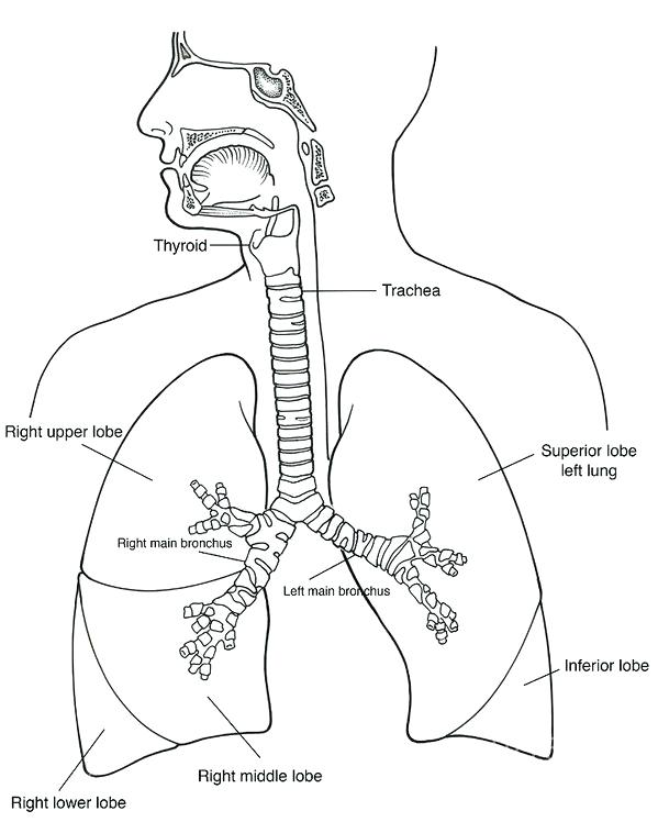599x748 Respiratory System Coloring Page System Art Print