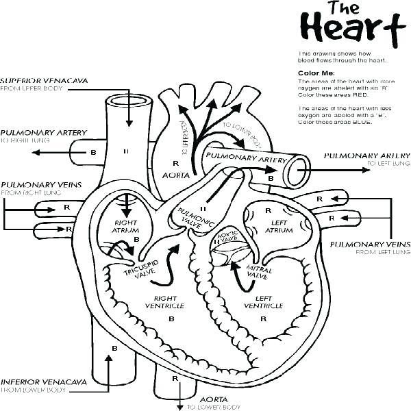 600x600 Respiratory System Coloring Worksheet Respiratory System Coloring
