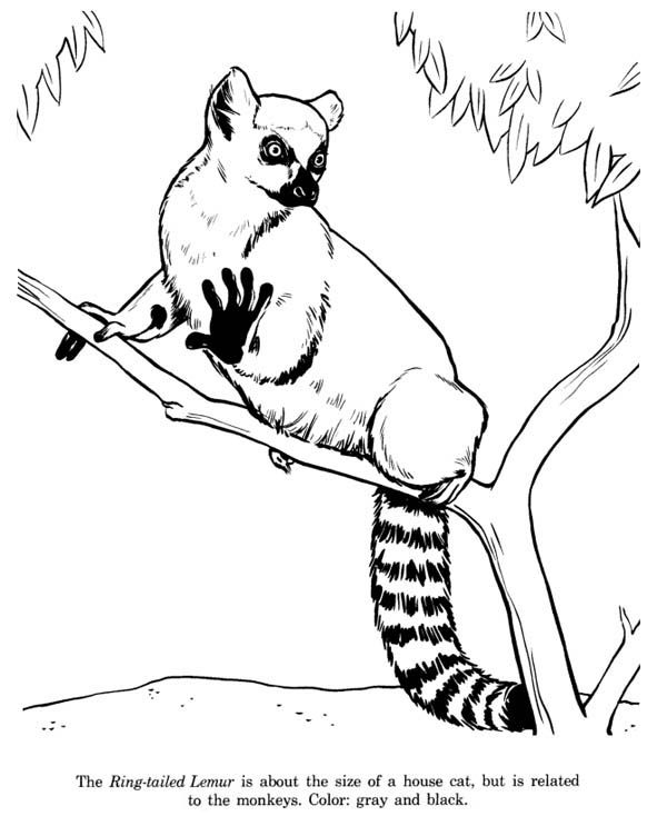 600x734 Cat Sized Ring Tailed Lemur Coloring Page Color Luna