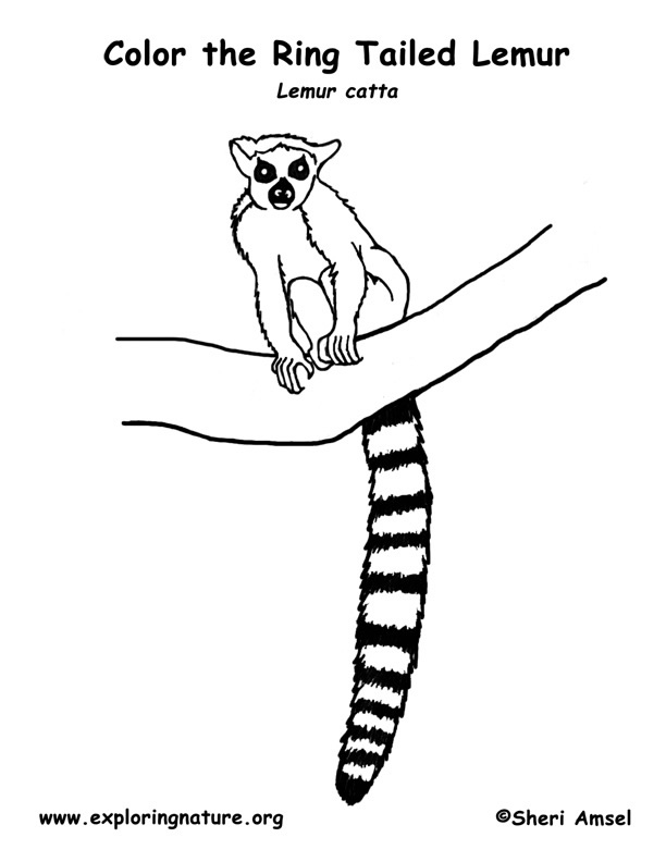 612x792 Ring Tailed Lemur Coloring Page