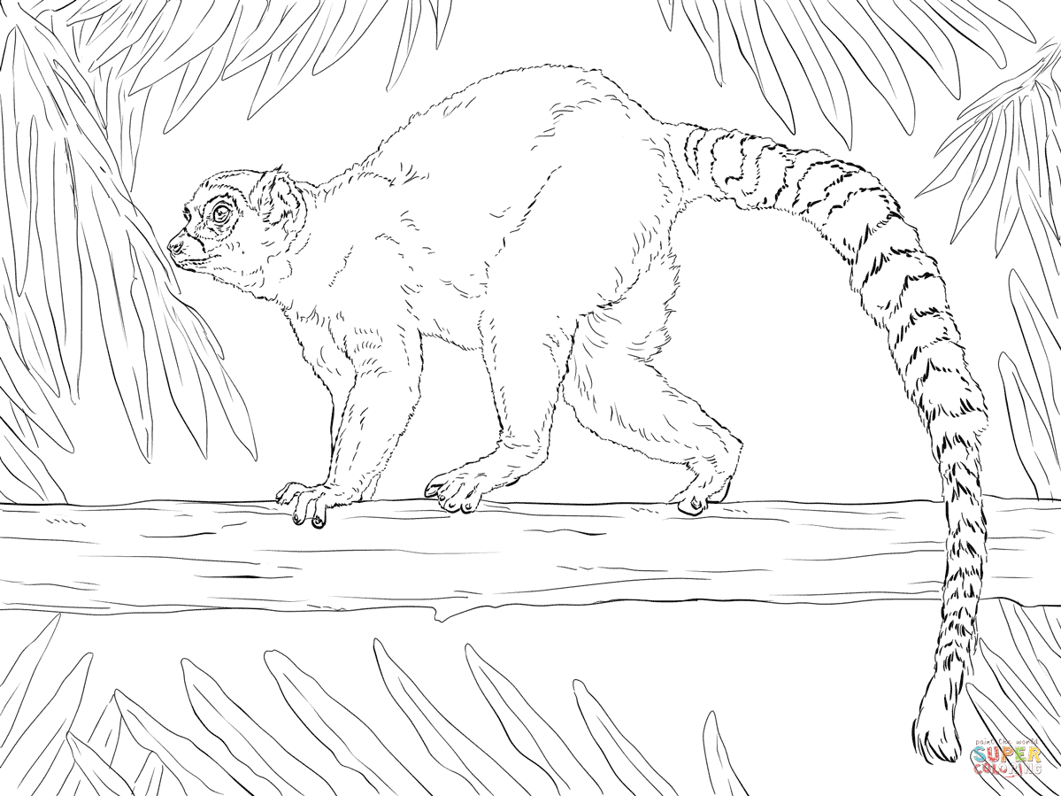 1199x899 Ring Tailed Lemur Coloring Page