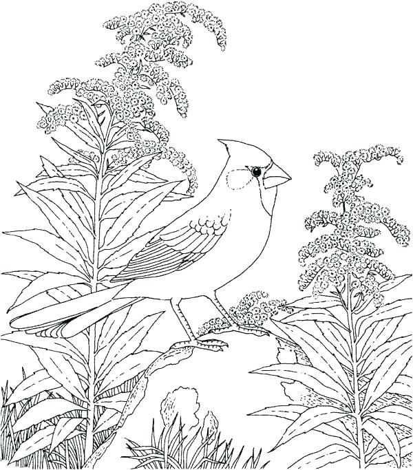 600x683 Robin Bird Coloring Pages Bird A Robin Bird Coloring Pages