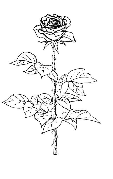 445x700 Rose Art Coloring Pages