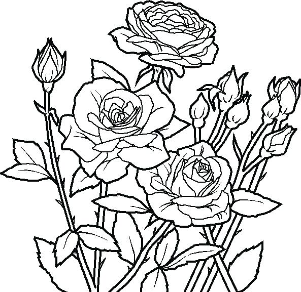 593x577 Coloring Pages Roses Flowers Rose Flower Coloring Pages Roses