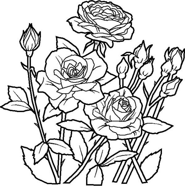 600x603 Rose Flower In The Garden Coloring Page Coloring Stuff