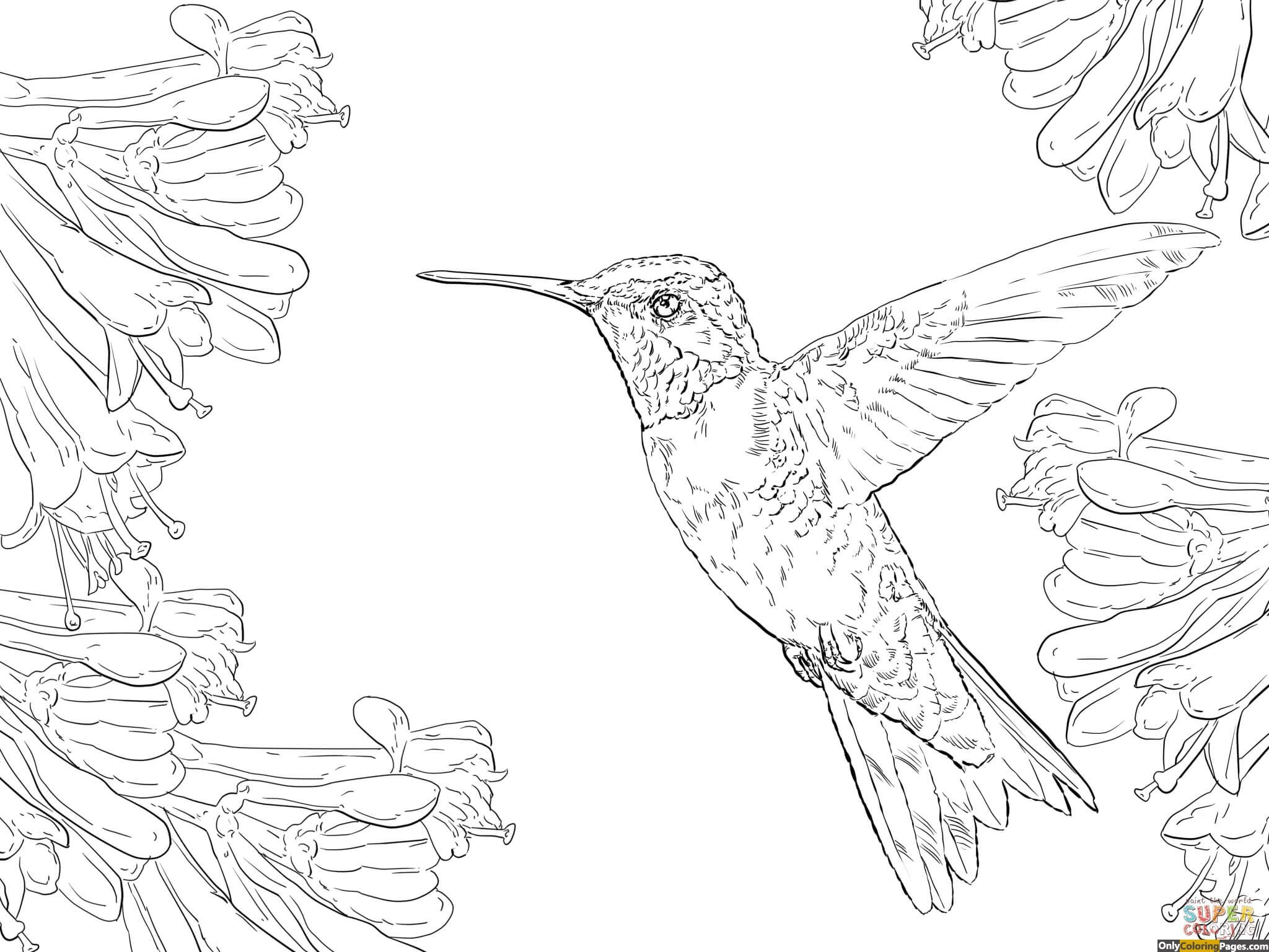 2048x1536 Ruby Throated Hummingbird Coloring Pages Activity Sheets