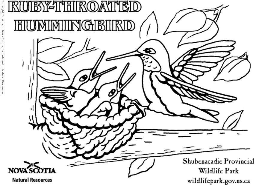 875x620 Coloring Page Ruby Throated Hummingbird
