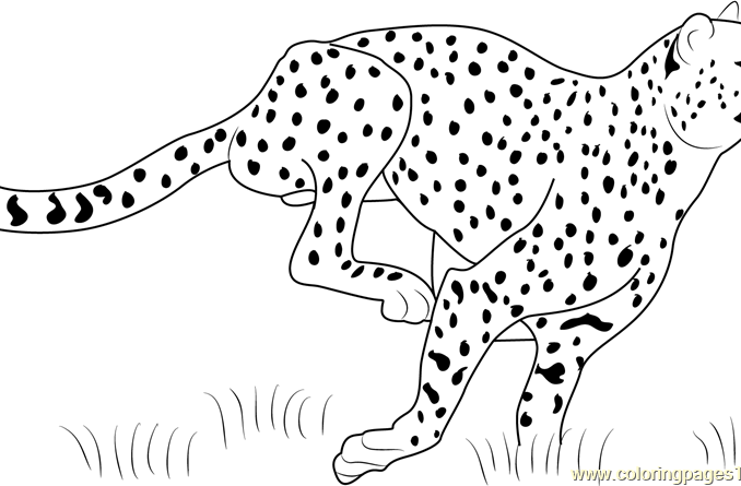 678x445 Cheetah Pictures To Color Free Coloring Page