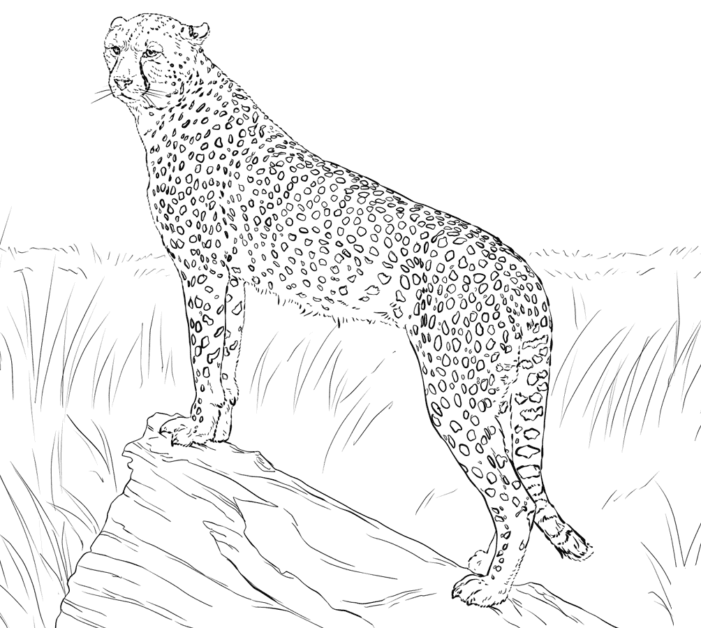 1004x899 For Realistic Cheetah Coloring Pages
