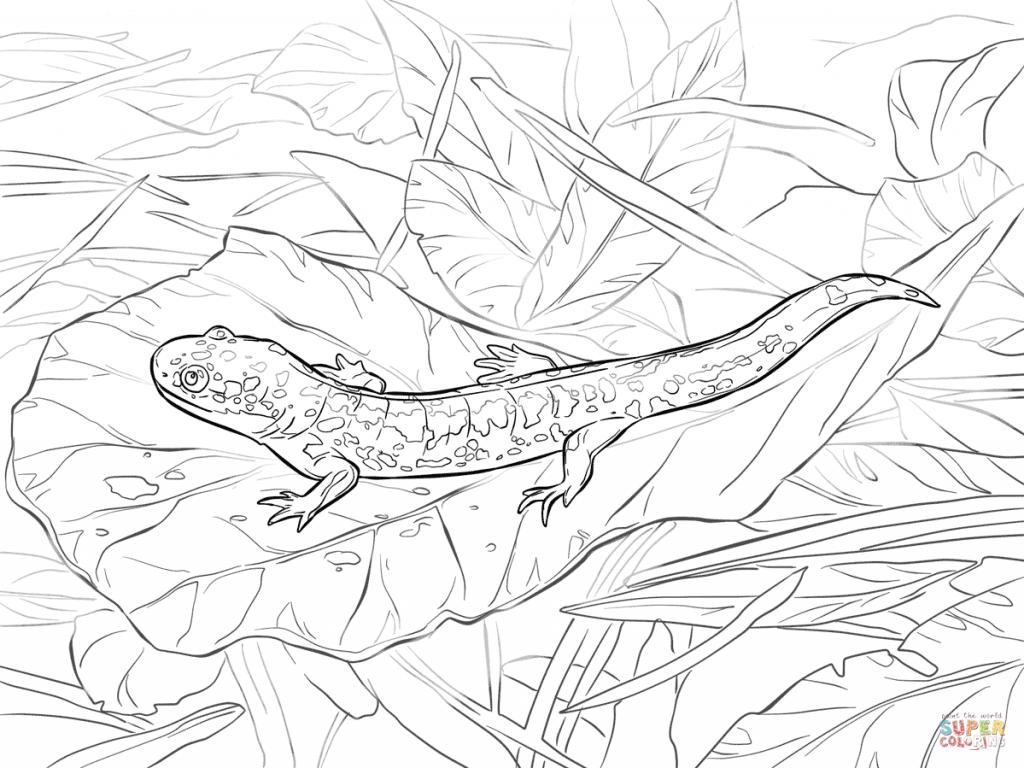 1024x768 Eastern Tiger Salamander Coloring Sheet