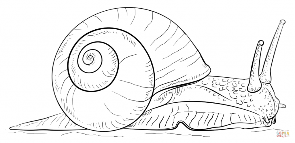 1024x497 Sea Snail Coloring Page