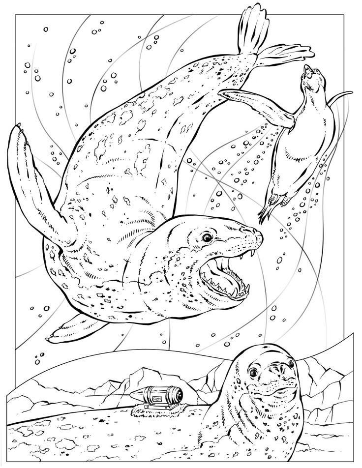 736x952 Leopard Seal Coloring Pages Download And Print For Free