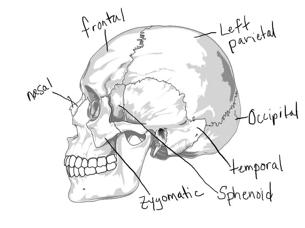 1024x768 Skeletal System Coloring Pages, Free, Printable Skeleton