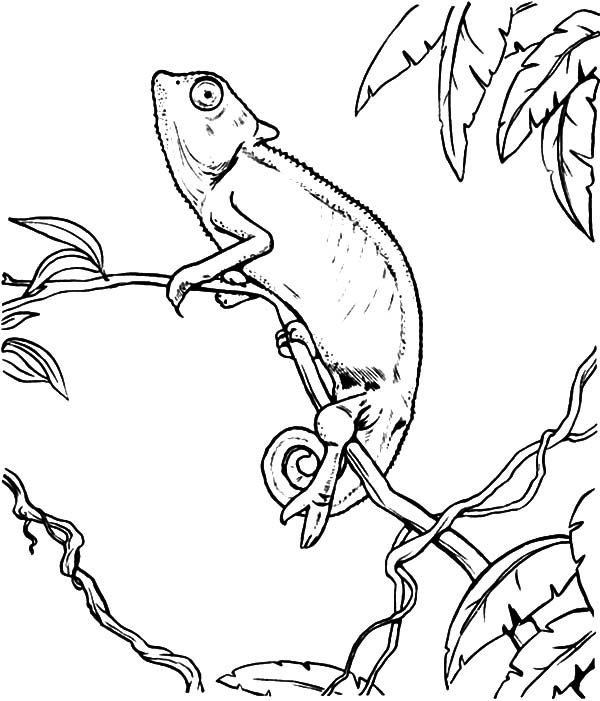 600x701 Chameleon Look Up To The Sky Coloring Pages Best Place To Color