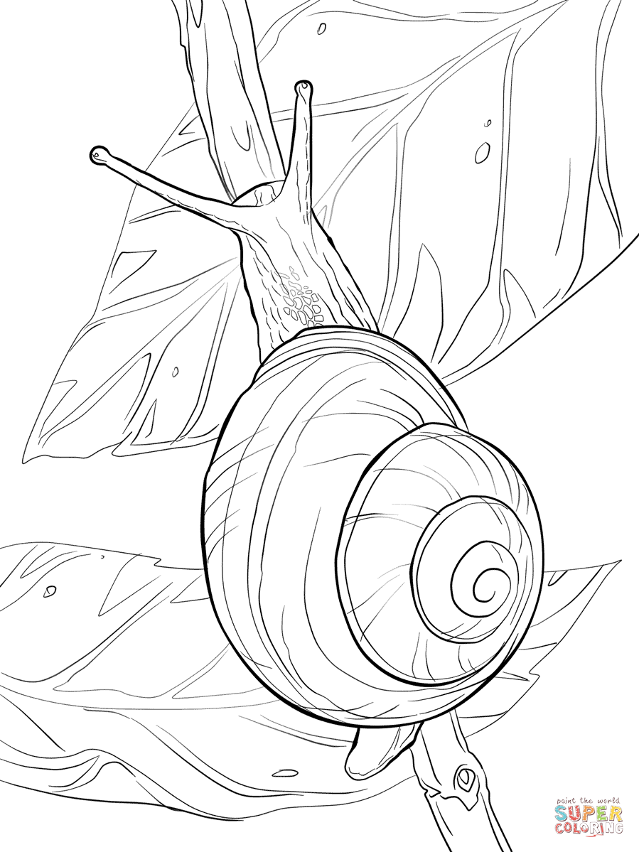 899x1199 White Lipped Snail Coloring Pages