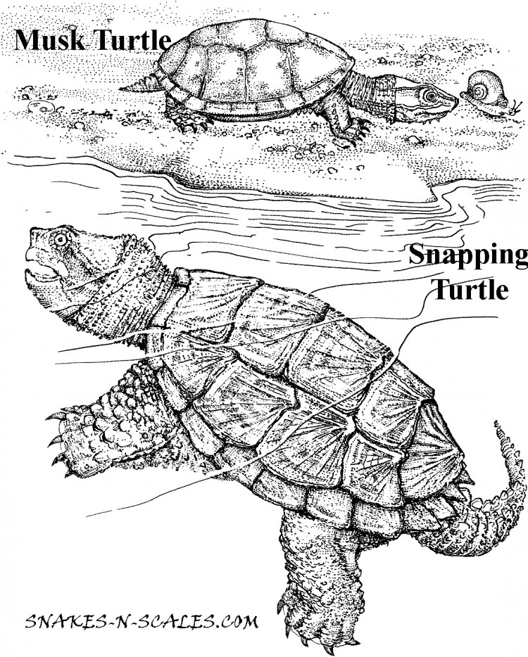 750x934 Snapping Turtle Coloring Page Musk Turtle Snapping Turtle Coloring