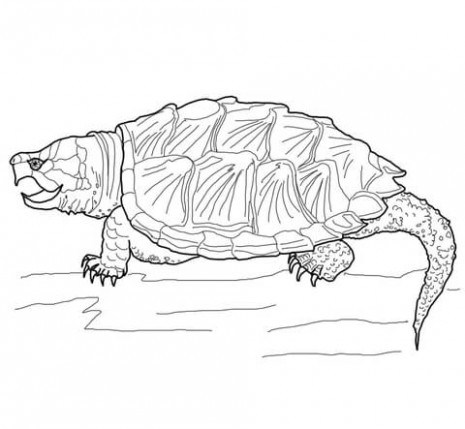 465x429 Snapping Turtle Coloring Pages Coloring Pages