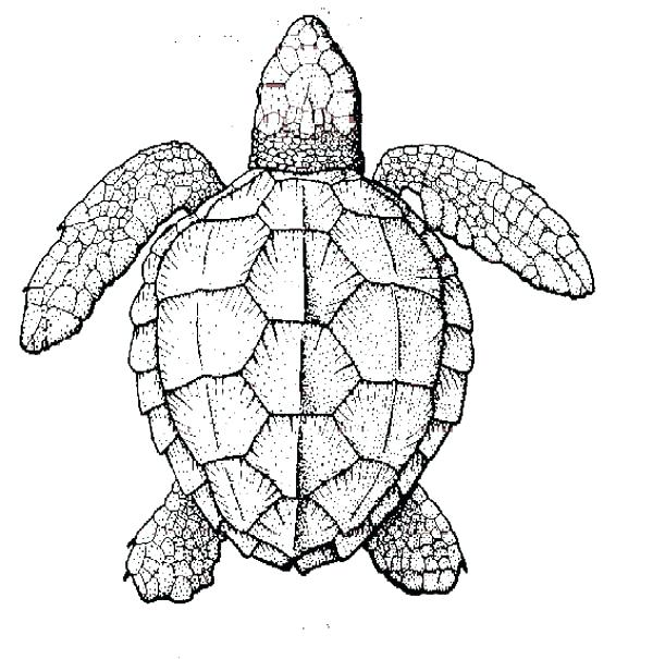 600x605 Turtles Coloring Pages Alligator Snapping Turtle Coloring Pages