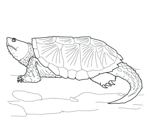 480x419 Turtles To Color