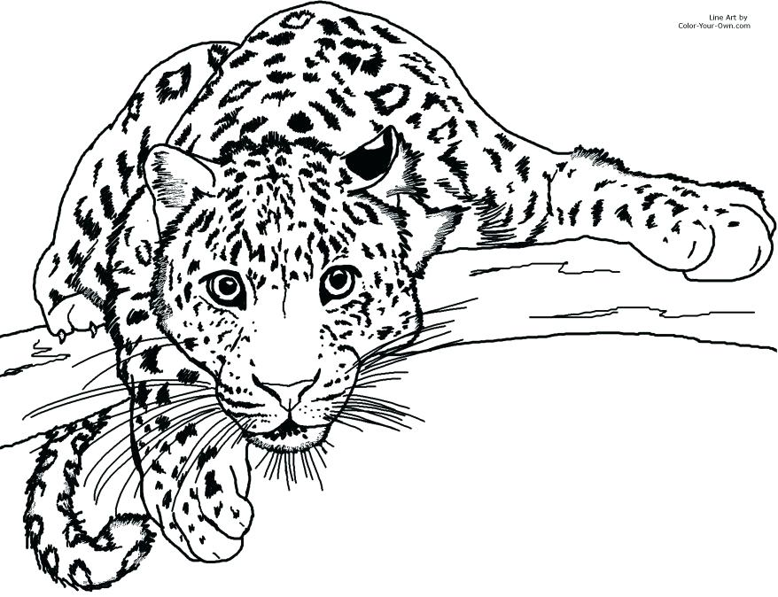 878x674 Snow Leopard Coloring Pages Leopard Coloring Page Enchanting Gecko
