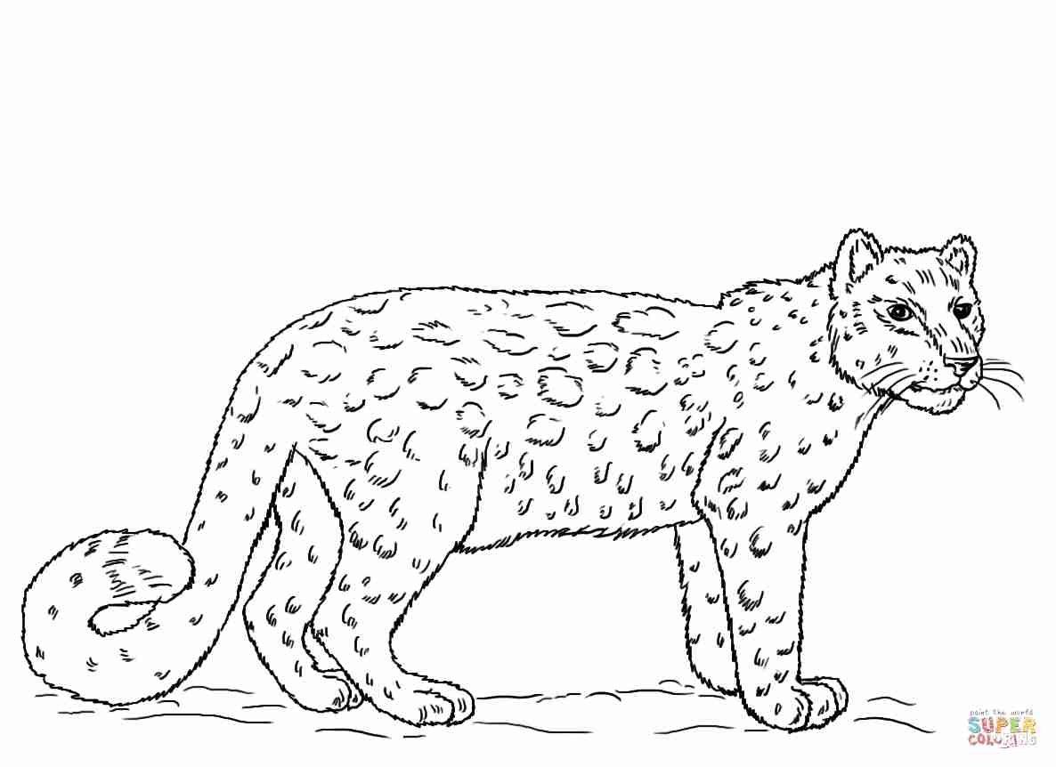 1186x862 Snow Leopards Coloring Pages Free Within Leopard Olegratiy