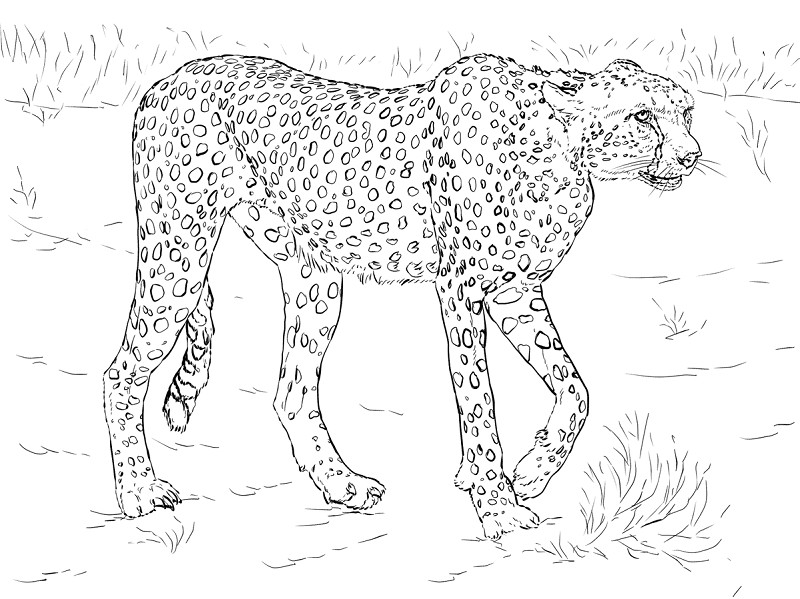 800x599 Awesome Snow Leopard Coloring Pages Cheetah Coloring Pages Free