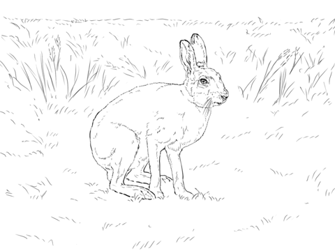 480x360 Snowshoe Hare Coloring Page