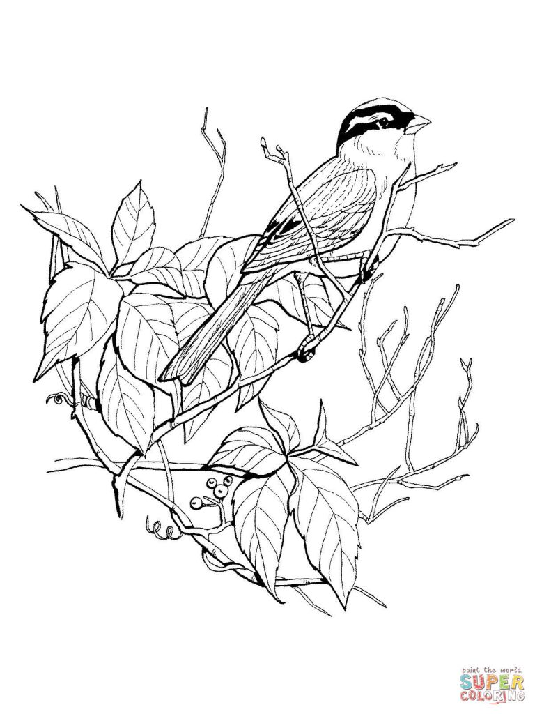 768x1024 White Crowned Sparrow Download Coloring Page