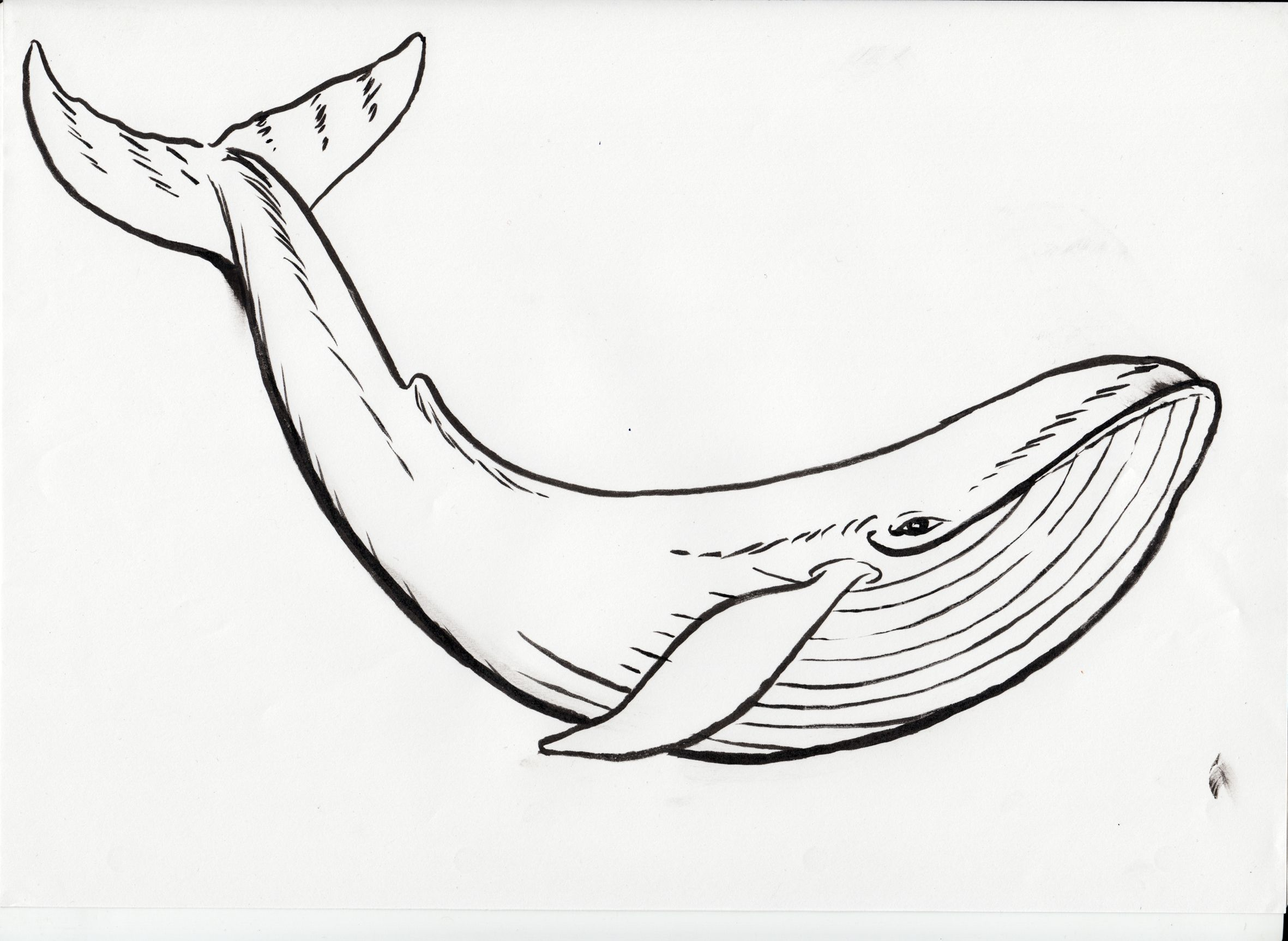 2362x1724 Humpback Whale Black Clipart Humpback Whale Coloring Page