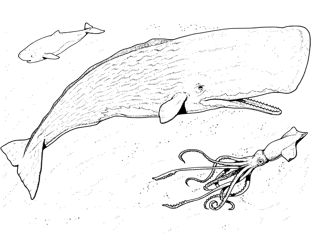 1024x768 Sperm Whale And Squid Coloring Pages