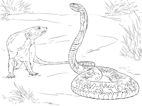 480x360 Spitting Cobra Coloring Pages
