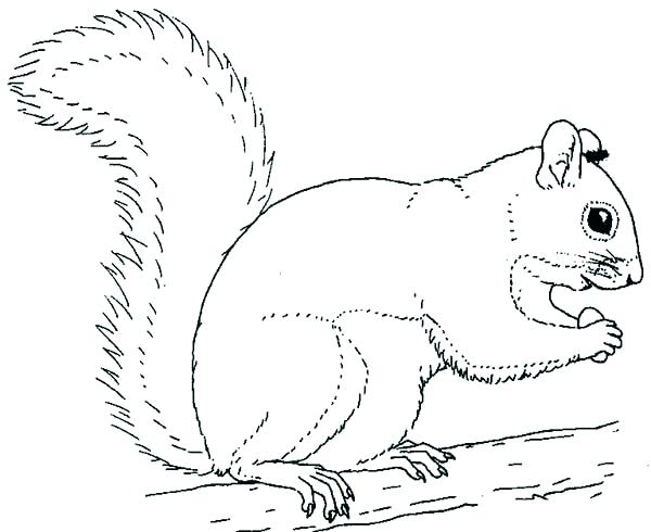 600x490 Flying Squirrel Coloring Page Coloring Pages Squirrel Respond Us