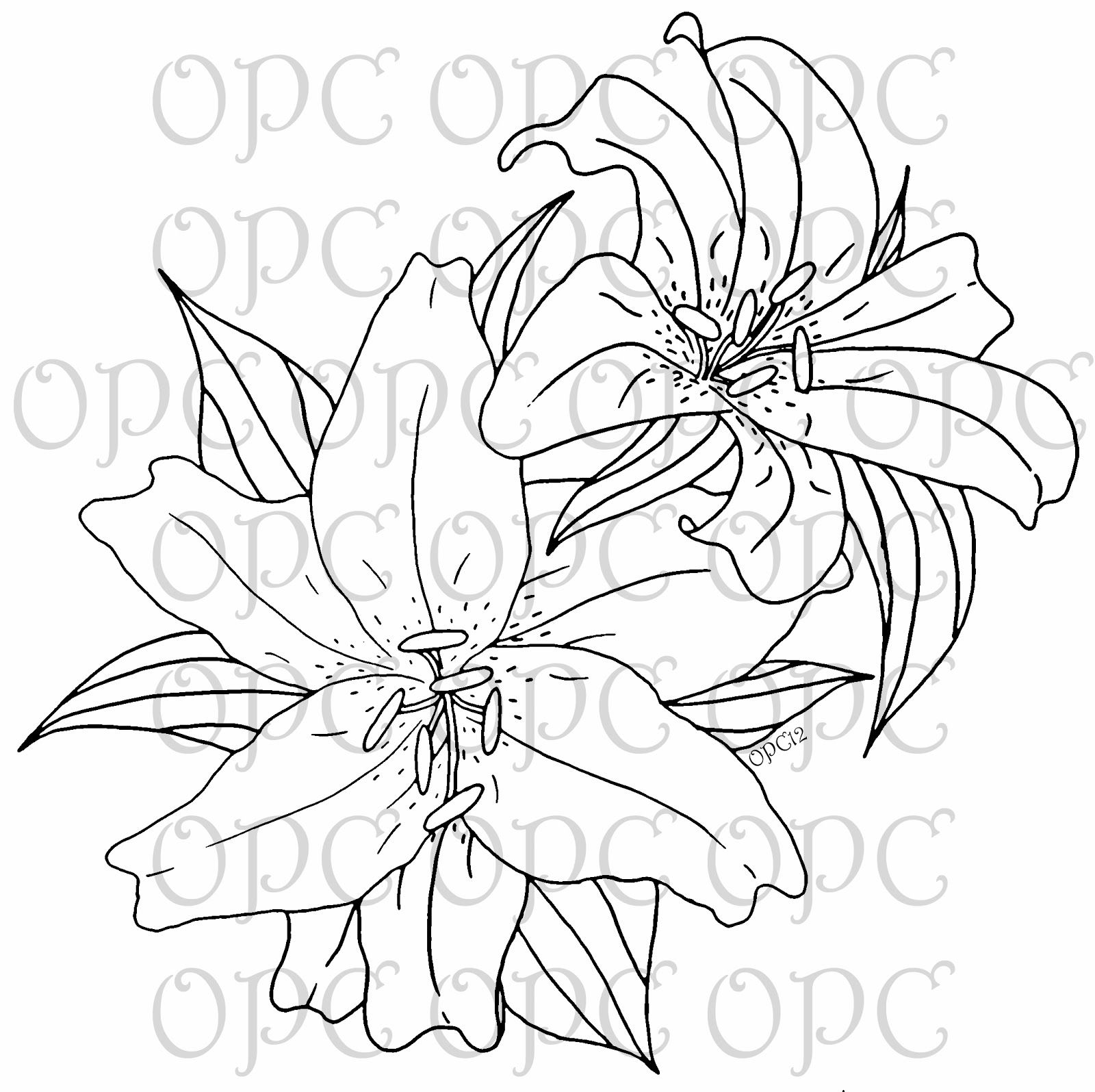 1600x1595 Oriental Lilies Are Known For Their Fragrant Perfume, Blooming Mid