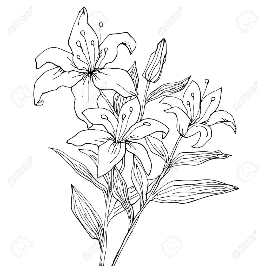 1024x1024 Stargazer Lily Drawing Lilies At Getdrawings Com Free For Personal