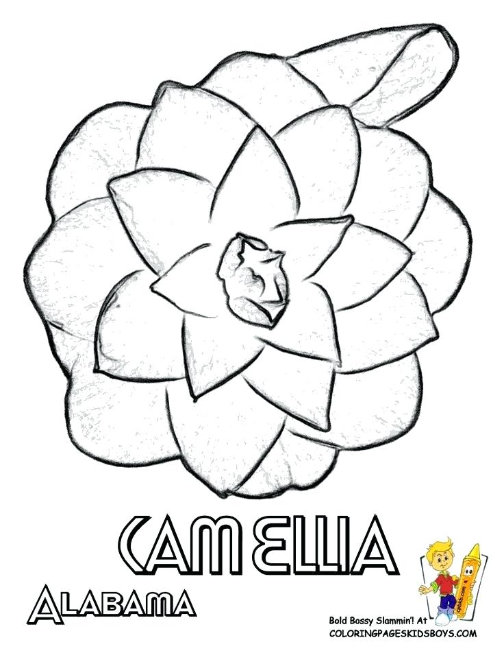 736x952 Oklahoma State Coloring Pages State Flower Coloring Page Camellia