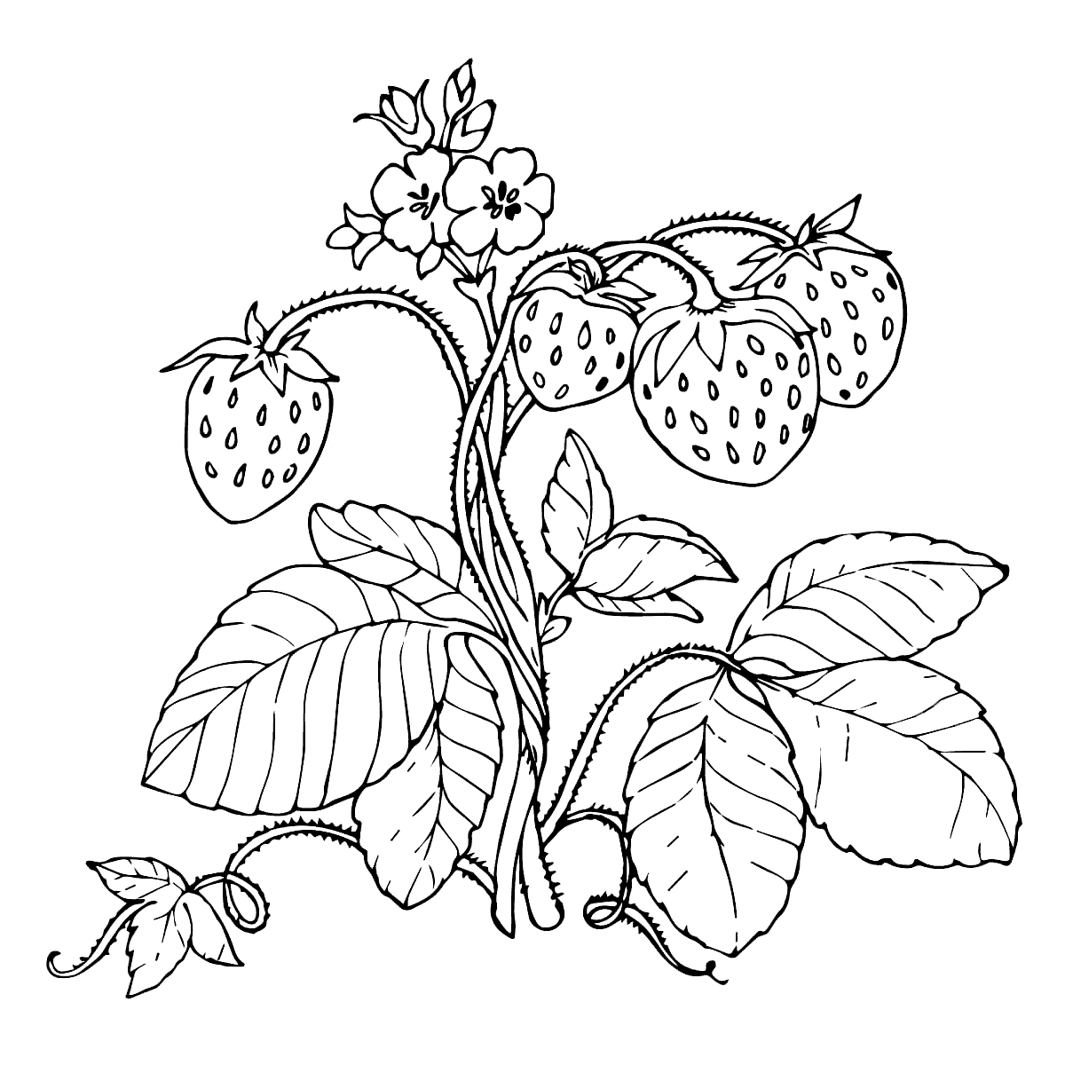 1200x1200 Strawberry Plant Coloring Page With Red Strawberries