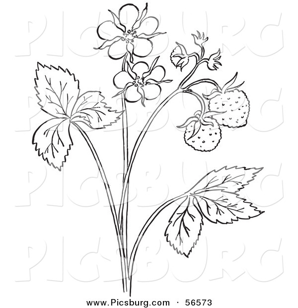 600x620 Clip Art Of A Coloring Page Outline Of A Strawberry Plant