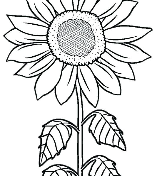 534x600 Sunflowers Coloring Pages Sunflower Coloring Pages Printable