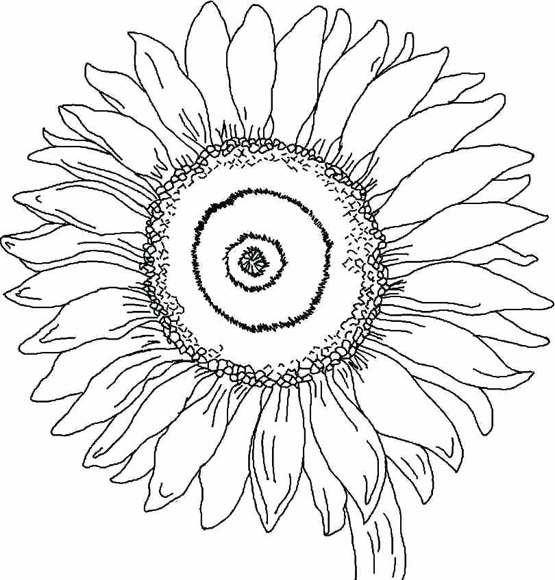 810x847 Large Sunflower Coloring Page Printable Free Sunflower Flowers
