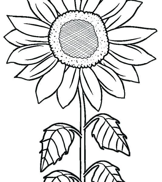 534x600 Sunflower Coloring Pictures